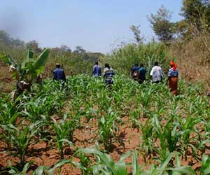Maize and Banana Production